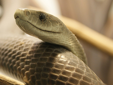 Black Mamba, brown color