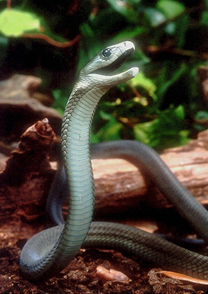 Black Mamba raising head