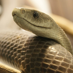 Black Mamba, the Most Dangerous Venomous Snake